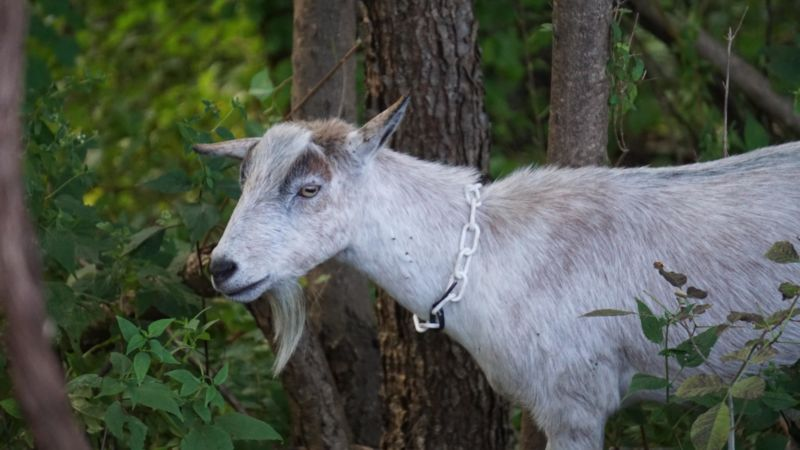 White Goat standing in woods